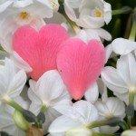 lyseroede-hjerteblade