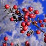 roede-baer-i-sneen