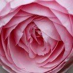 romantisk-lyseroed-rose
