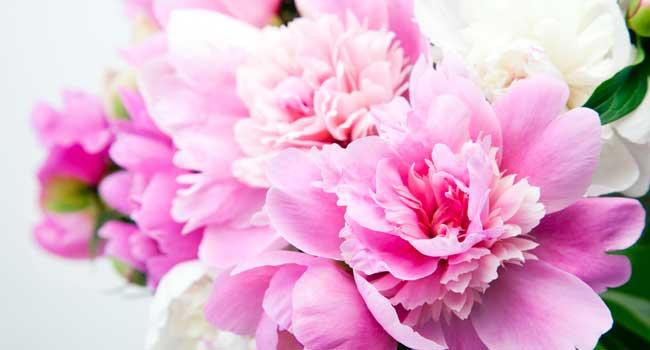 Skønne lyserøde fødselsdagsblomster